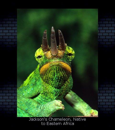 Chameleon Posters